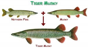 tiger muskie